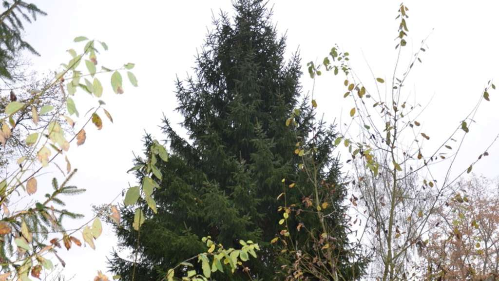 weihnachtsbaum f r bundeskanzlerin kommt aus hessen leben. Black Bedroom Furniture Sets. Home Design Ideas