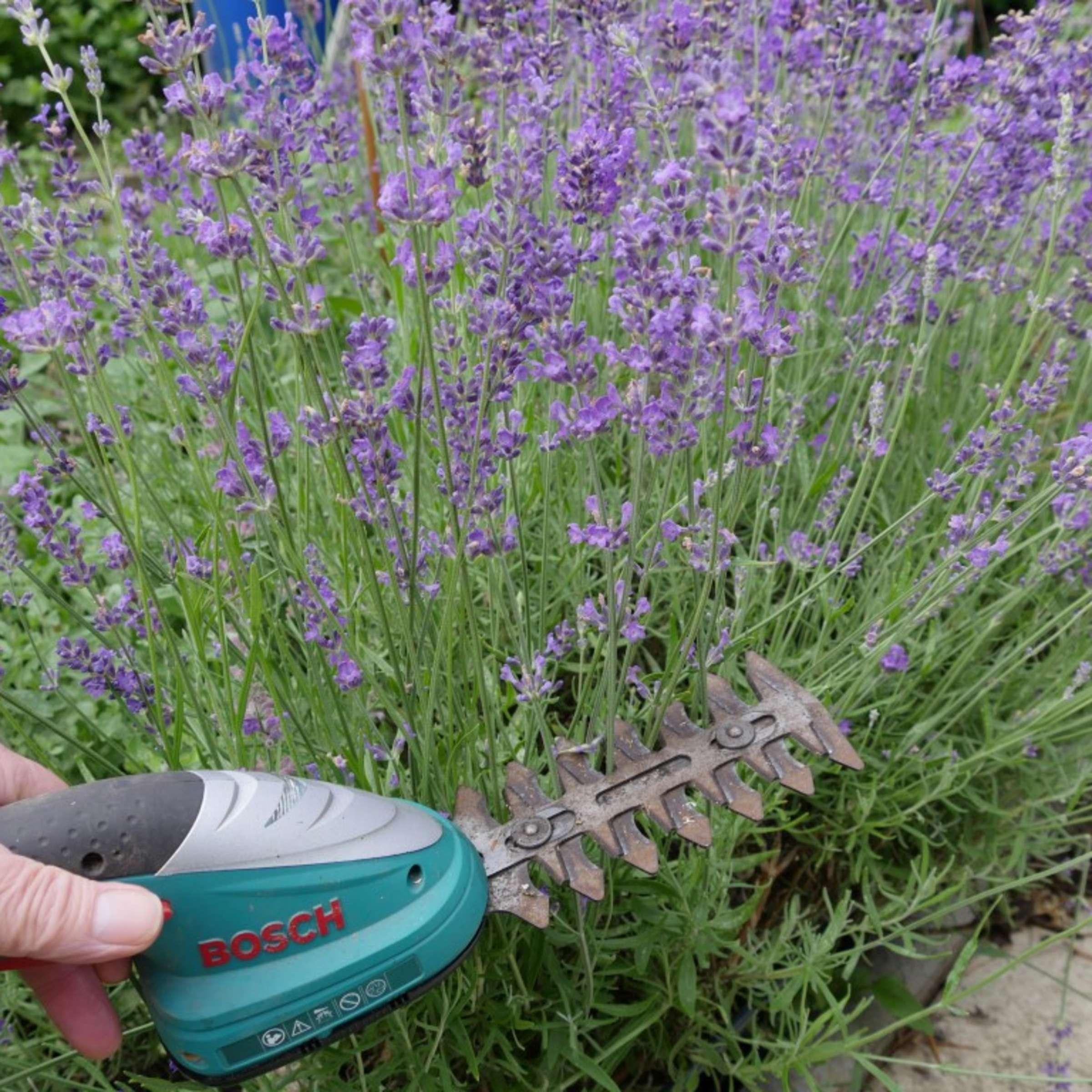 Lavendel Schneiden Garten Experte Klaus Fischer Erklart Soest